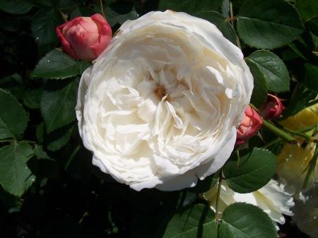 Fair Bianca Rose in Duke Gardens