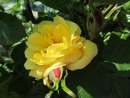Arthur Bell Rose