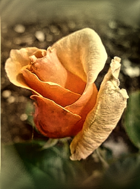 Golden Unicorn rose